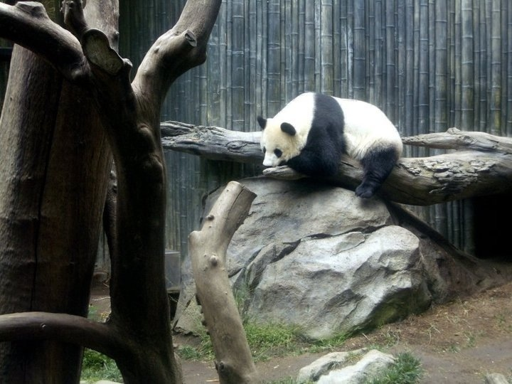 cuuuute panda at the san diego zoo