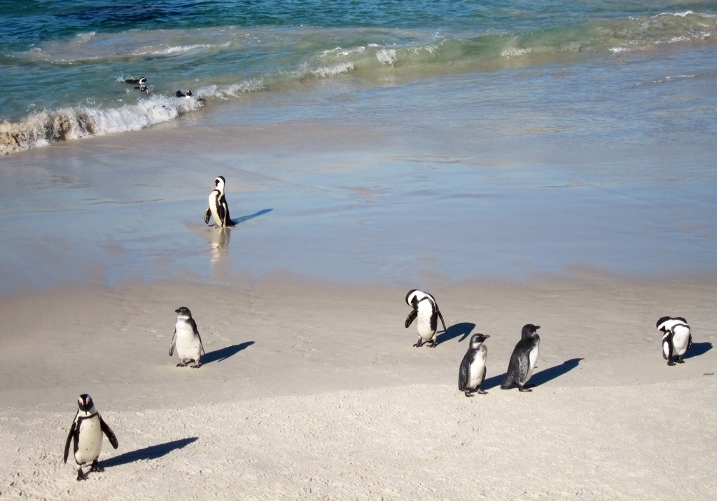 penguin sighting at simon's point on the eastern edge of the cape peninsula - i love them!