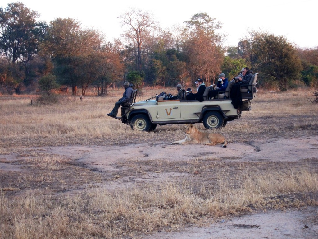 this is a photo of another vehicle with a lion lying in front. this is how close we would get to the animals! it's insane! usually we would drive up to a pride of five to seven lions and just chill with them for 20 minutes.