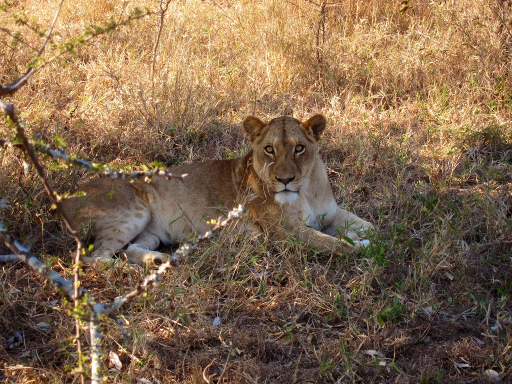 if that's not going to cause your heart to pause, i'm not sure what will. mama lion at kapama game reserve.